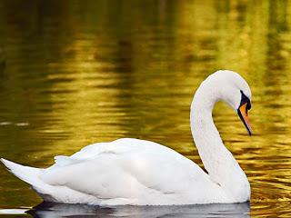 significado-de-sonar-con-cisnes